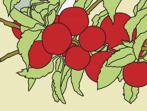 Apples Outline